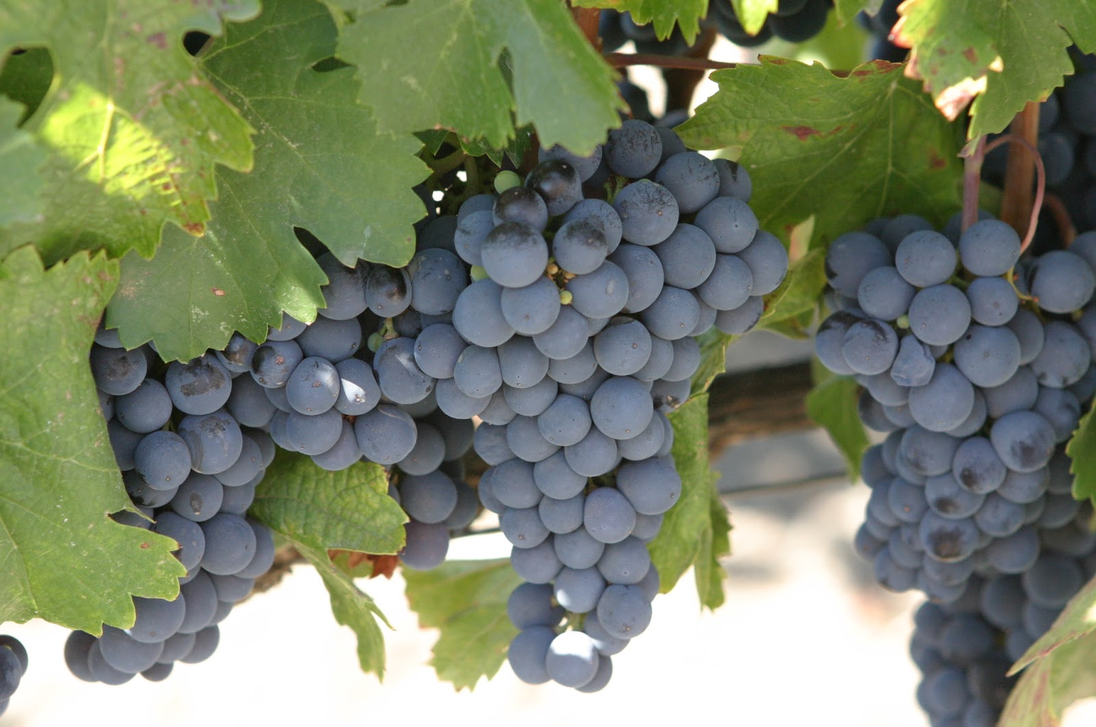 grapes good for weight loss
