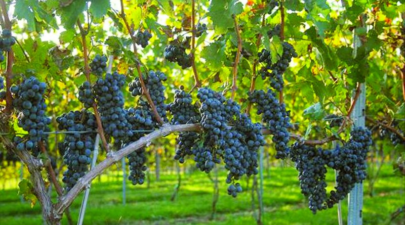 grapes support eye health