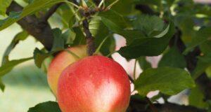Amount of fiber in an apple