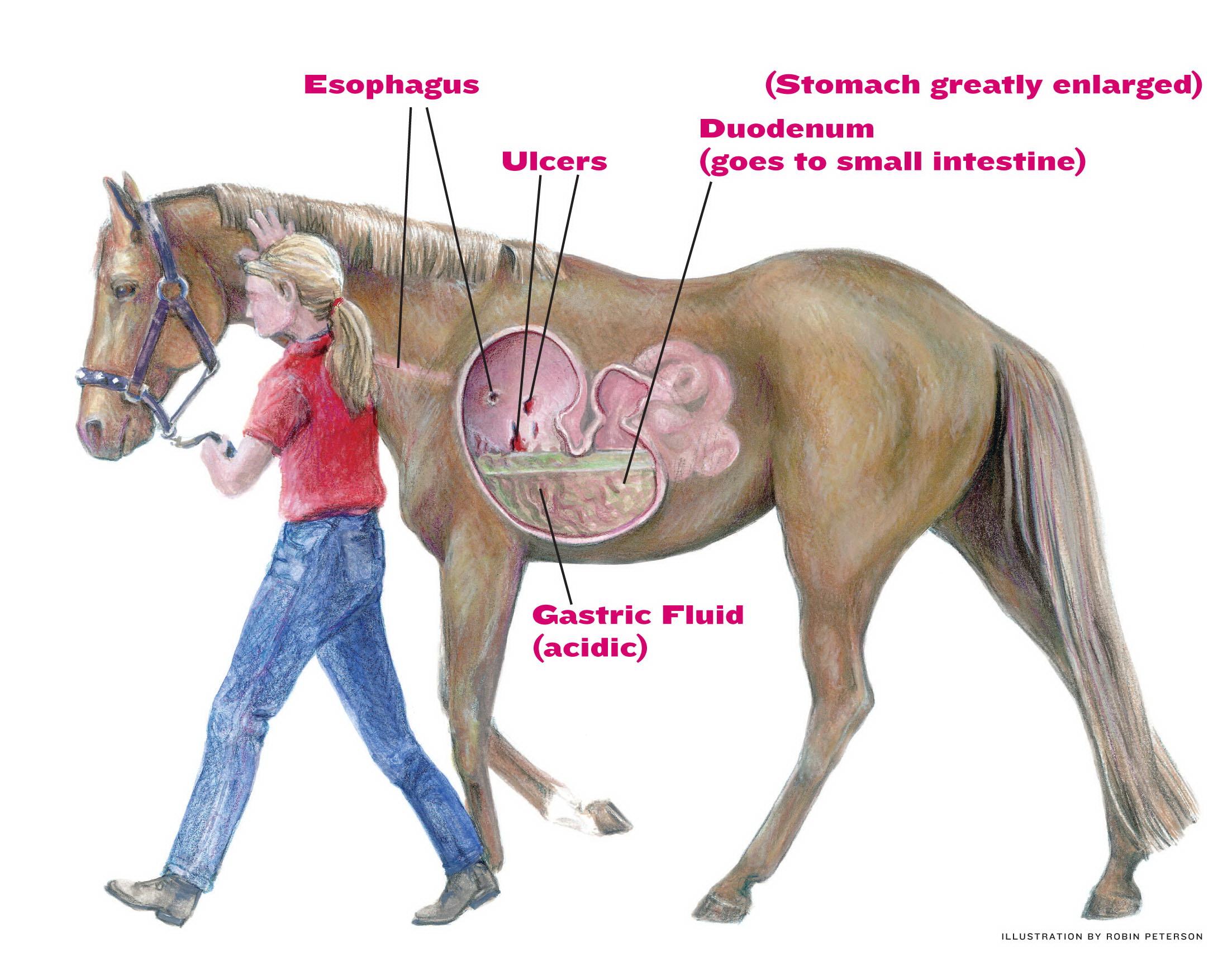 apple cider vinegar for horses digestion