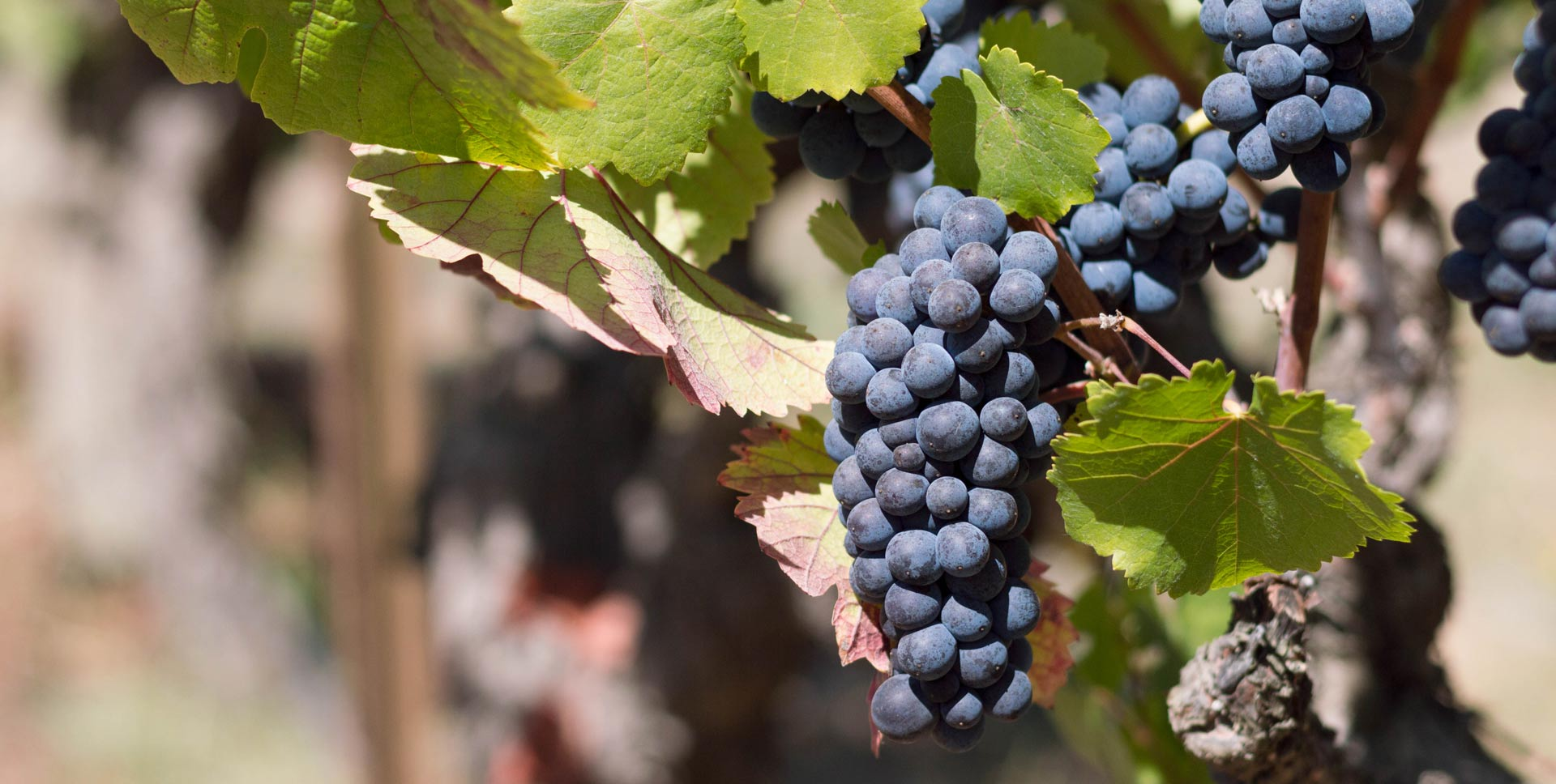 Are grapes fattening or weight lose MYTHS